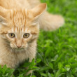 Red kitten in the grass — Lizenzfreies Foto