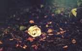 Rose lays on autumn leaves — Stock Photo