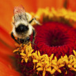 Bee pollen de collecte — Photo