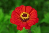 Red flower on a green background — Stock fotografie