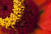 Red flower macro — Stock Photo