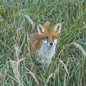 Beasts fox — Stock Photo