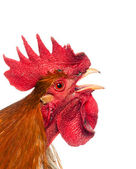 Singing Rooster — Stock Photo