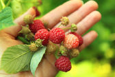 Raspberries in hand — Stock Photo