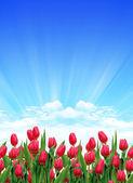 Tulip garden — Stock Photo