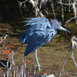 Stock Photo: Ruffled Blue Feathers