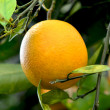 Orange on Tree 2 — Stock Photo
