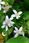 Orange Blossoms — Stock Photo