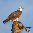 Stock Photo: Osprey Perched On Palm