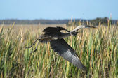 Great Blue Heron Taking Off — Stock Photo
