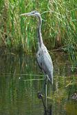 Great blue heron en everglades nationa lpark — Foto de Stock