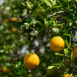 Valencias On Tree — Stock Photo #21305965