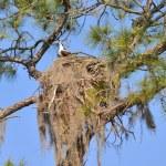 Osprey Nest At Salt Springs Run — Stock Photo