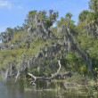 Spanish Moss Salt Springs - Stock Photo