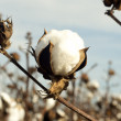 Cotton Boll — Stock Photo #35941873