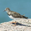 Ruddy Turnstone — Stockfoto