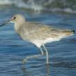 Eastern Willet — Stock Photo