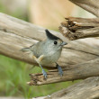 Stock Photo: Black-crested Titmouse
