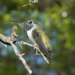 Stock Photo: Old Male Costa's Hummingbird