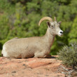 Bighorn Sheep — Stock Photo #35944659
