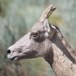 Bighorn Sheep Potrait — Stock Photo