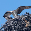 Osprey Nesting — Stock Photo