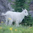 Baby Mountain Goat Grin — Stock Photo
