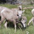 Stock Photo: Montana Bighorn Sheep