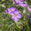 Richardson's Geranium — Stock Photo