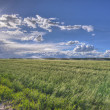 Montana Wheat Field — Stock Photo