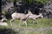 Montana Bighorn Sheep — Stockfoto