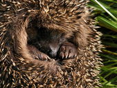 A rolled-up hedgehog — Stock Photo