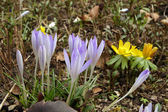 Blue and yellow spring flowers — Stock Photo