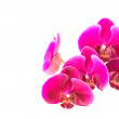 Royalty-Free Stock Photo: Pink orchid isolated on white