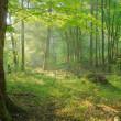 Stock Photo: Dawn in old forest