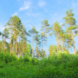 Stock Photo: Pine forest in the summer