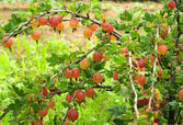 Gooseberry bush in the garden — Foto de Stock