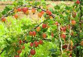 Gooseberry bush in the garden — Stock Photo