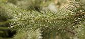 Gocce di pioggia su ramo di pino. — Foto Stock