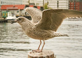 Seagull . Boats and some buildings in background — Stock Photo