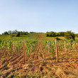 Stock Photo: Young vineyard with arable land