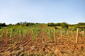 Joven viñedo con tierras cultivables — Foto de Stock