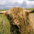 Royalty-Free Stock Photo: Scotland cow in highlands