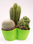 Succulent cactus plants in a green vase — Stock Photo