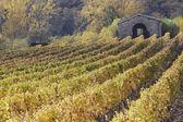 Rows of vines vineyards , beautiful light, Tuscany, Italy — Stock Photo