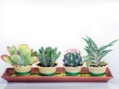 Succulent cactus plants in a rectangular vessel — Stock Photo