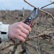 Royalty-Free Stock Photo: Pruning vines with red scissors.