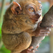 Philippine Tarsier on a branch — Stock Photo