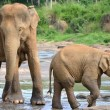 Pinnawela elephant orphanage, mother and the baby — Stock Photo