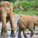 Pinnawela elephant orphanage, mother and the baby — Stock Photo